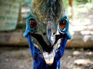 Angry Cassowary
